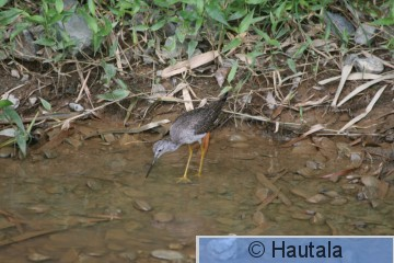 Keltajalkaviklo, Tobago, 4.jpg