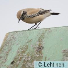 Aavikkotasku, Desert Wheatear, Oenanthe deserti, Koukkujärven kaatopaikka, Nokia, Finland, 24.10.2019_7411.jpg