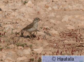 Kanariankirvinen, Fuerteventura, 4b.JPG