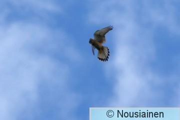 Tuulihaukka2j P h18.jpg