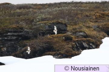 Piekana1b Norja kesä16.jpg