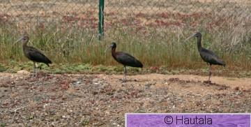 Pronssi-ibis, Madeira, kopio.jpg