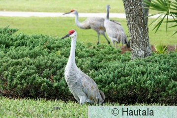 Hietakurki, Fort Myers, 2.JPG