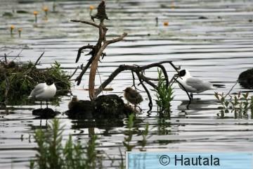 Naurulokki, Iidesjärvi, 22.jpg