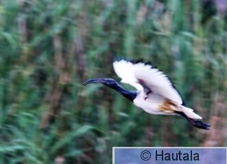 Pyhä iibis, threskiornis aethiopicus, Montagu, RSA, 11.jpg