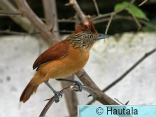 Raitapuumuura, Tobago, 5, naaras.jpg