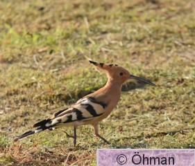 Härfågel 5  .jpg