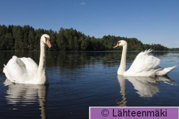 000207 Kyhmyjoutsen pariskunta_14082011_Mouhijärvi Salmi.jpg