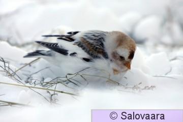 pulmunen, kuva Risto Salovaara_1582.JPG