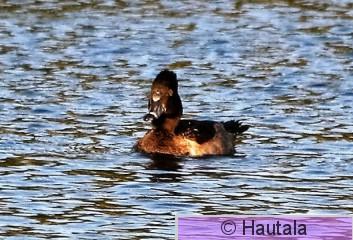 Amerikantukkasotka, ring-necked duck, Florids, 1.JPG