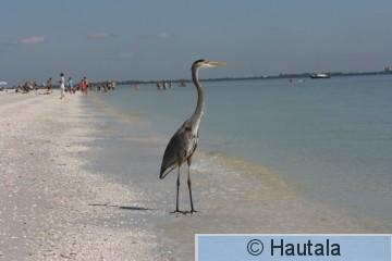 Amerikanharmaahaikara,Fort Myers, 2.JPG