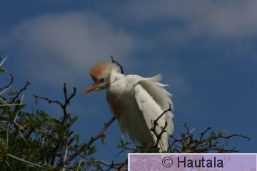 Lehmähaikara, bubulcus ibis, Montagu, RSA, 3.jpg