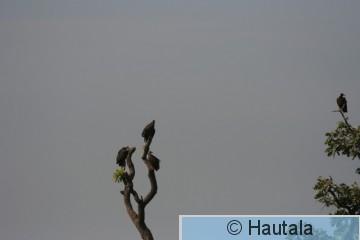 Huppukorppikotkia, Banjul 1 a.jpg