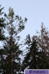 Metson hakomispuu_2I2A9111.jpg