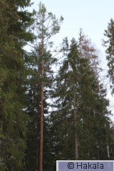 Metson hakomispuu_2I2A9115.jpg